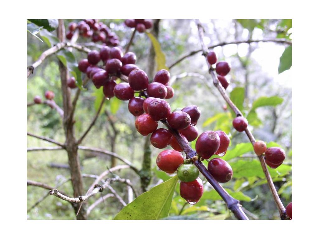 コーヒーチェリーからコーヒー豆ができるまで